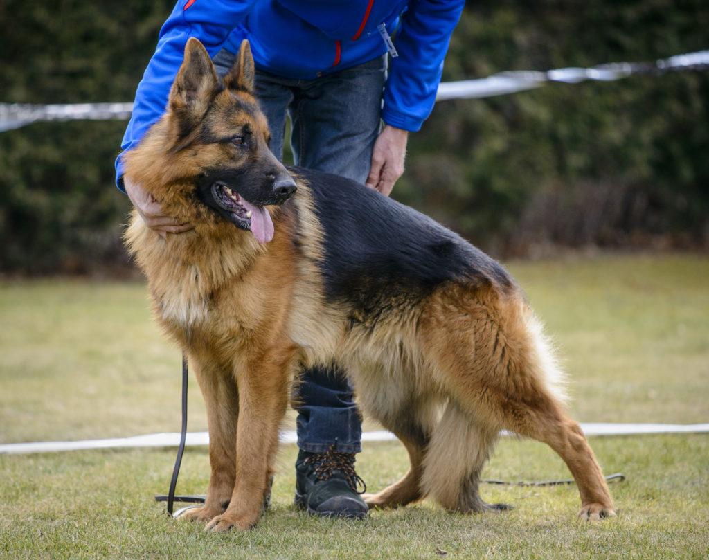 deutscher schäferhund hundeschule