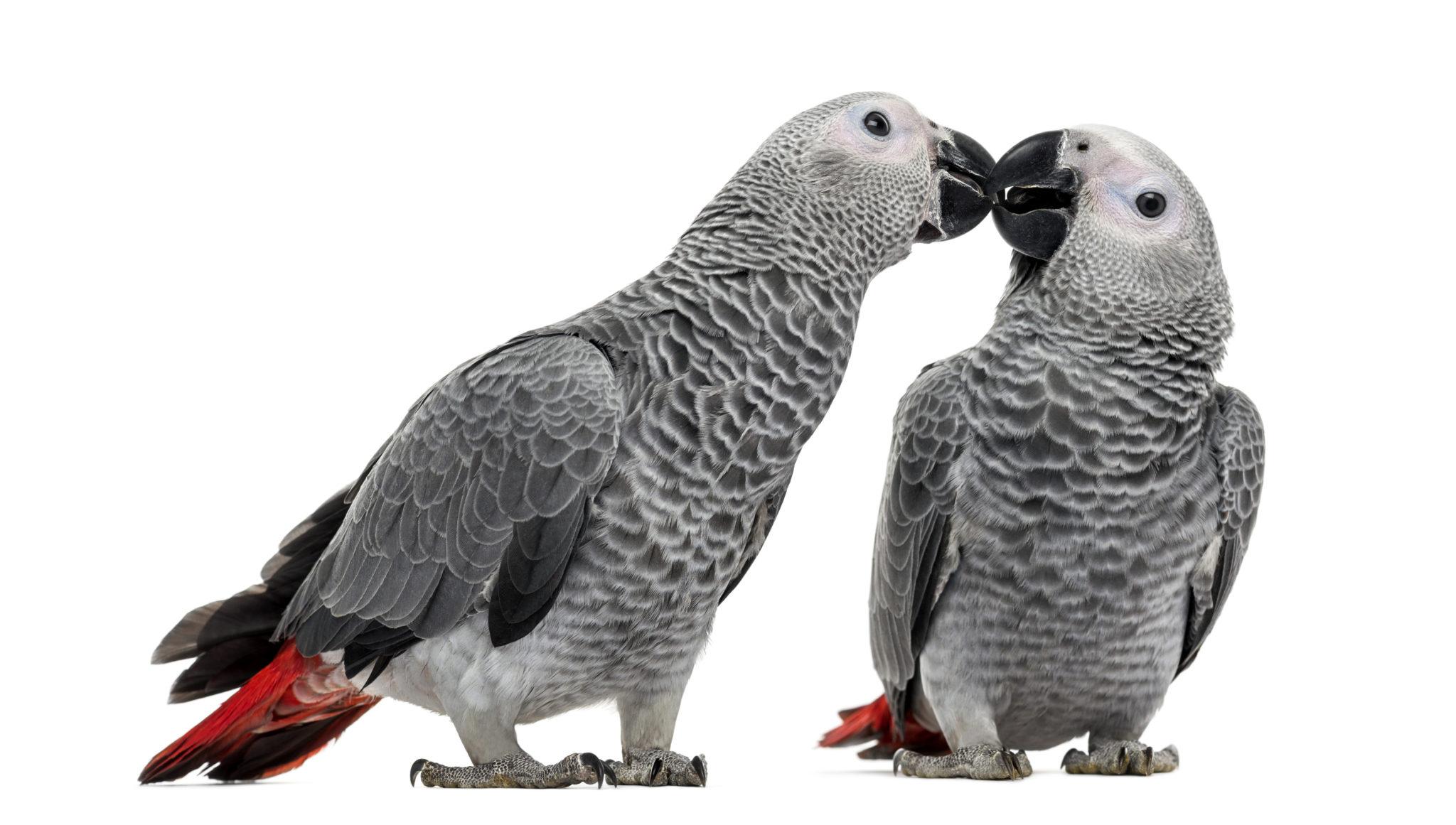Perchè gli uccelli ornamentali vanno adottati in coppia
