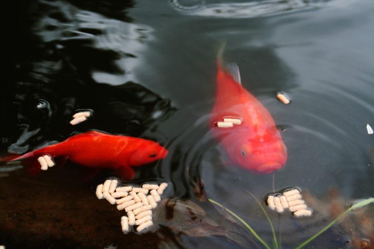 Come nutrire i pesci del laghetto