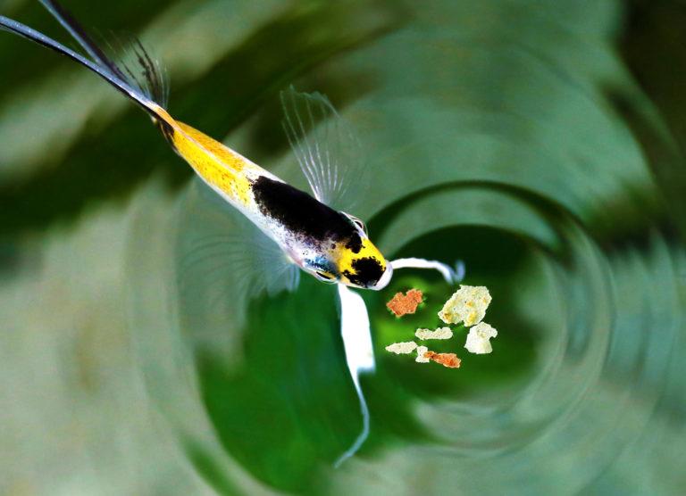 pesce angelo che mangia