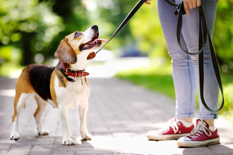 donna che porta a spasso il beagle