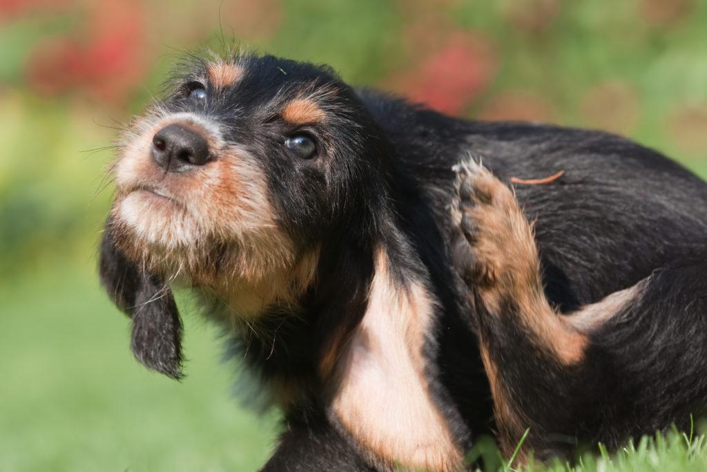 cane che si gratta dietro le orecchie