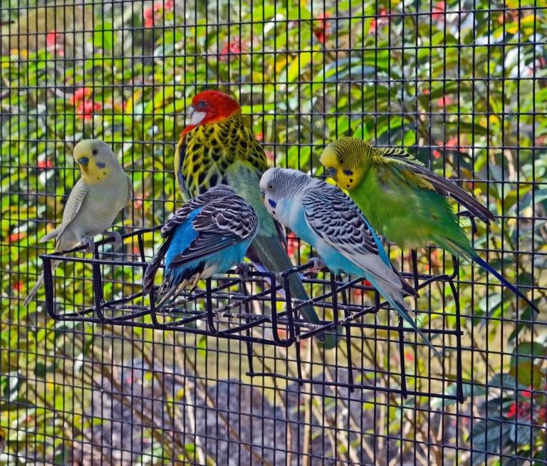 pappagallini appollaiati