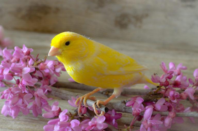 canarino giallo che si nutre