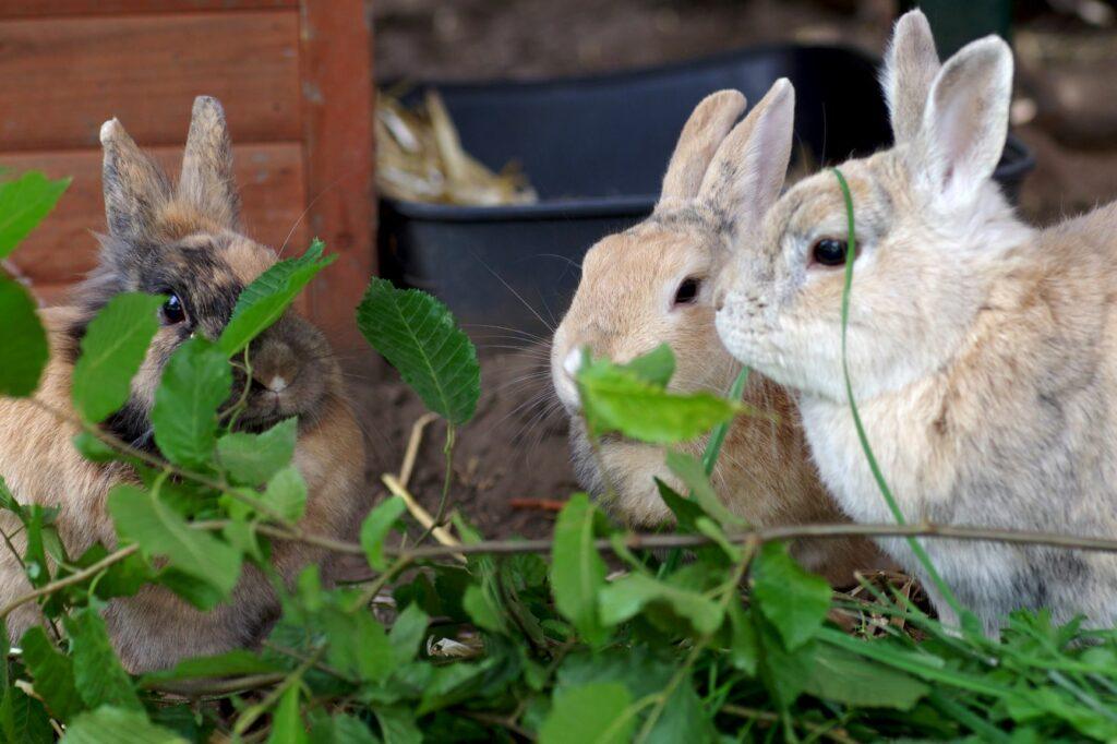 alimentazione del coniglio con ramoscelli