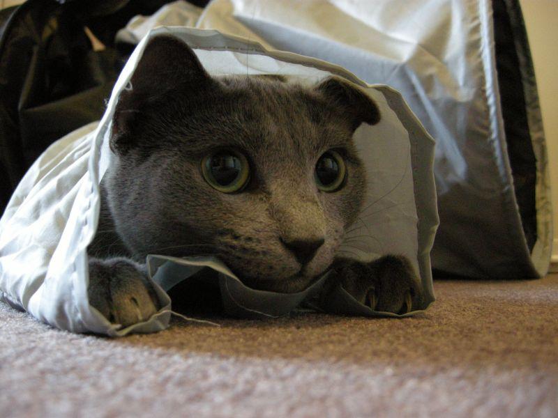 gatto grigio che gioca