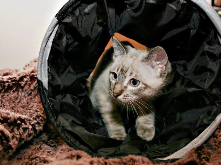 agility per gatti