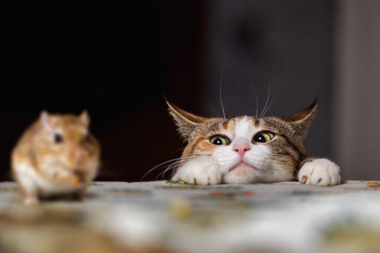 gatto che gioca con un gerbillo