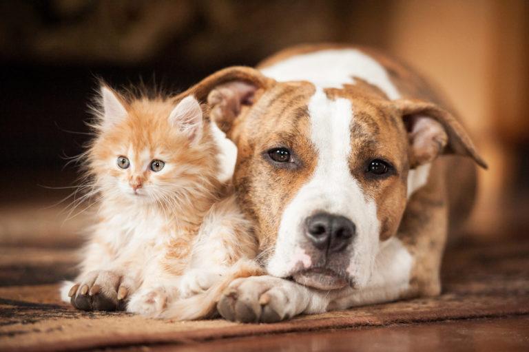 American staffordshire con un cucciolo di gattino