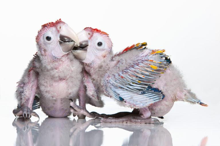 due pappagalli che giocano