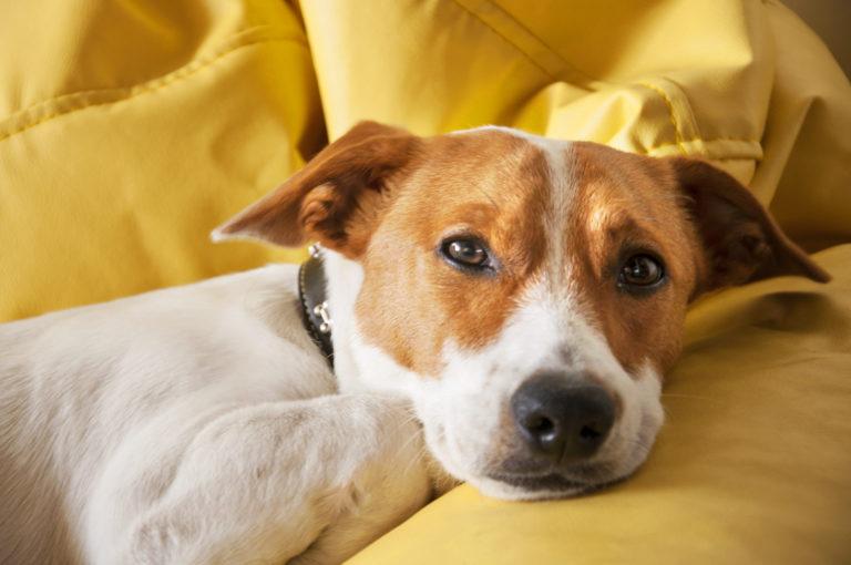 cane su cuscino giallo