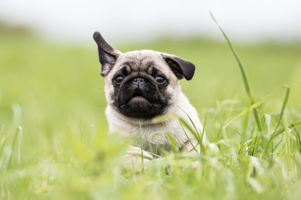 carlino in mezzo all'erba
