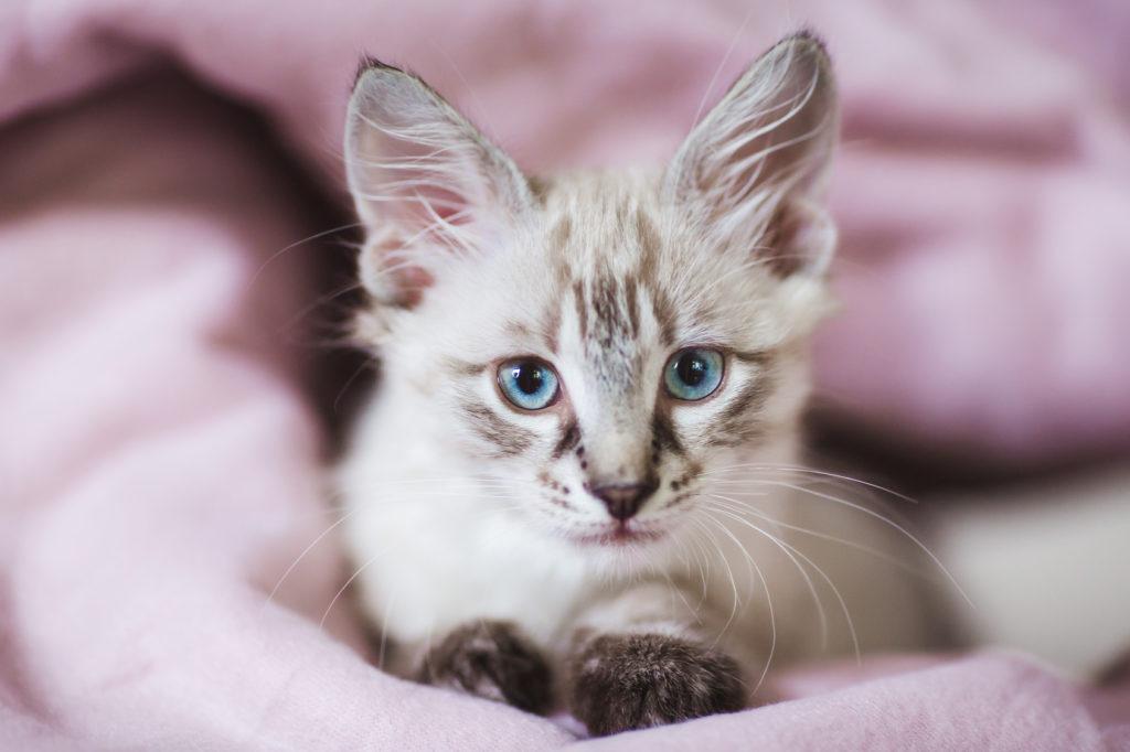 Gattino di Neva Masquerade