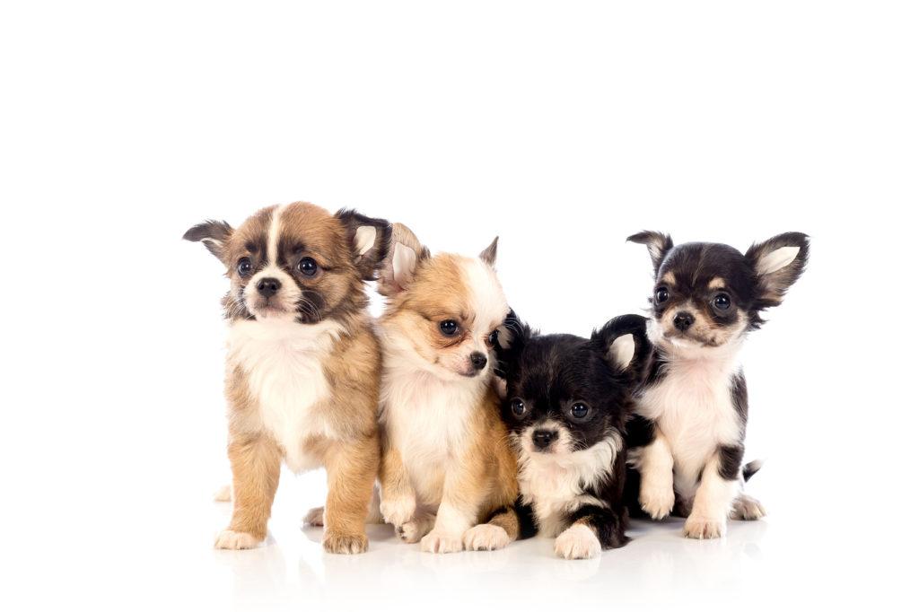 cuccioldi di Chihuahua