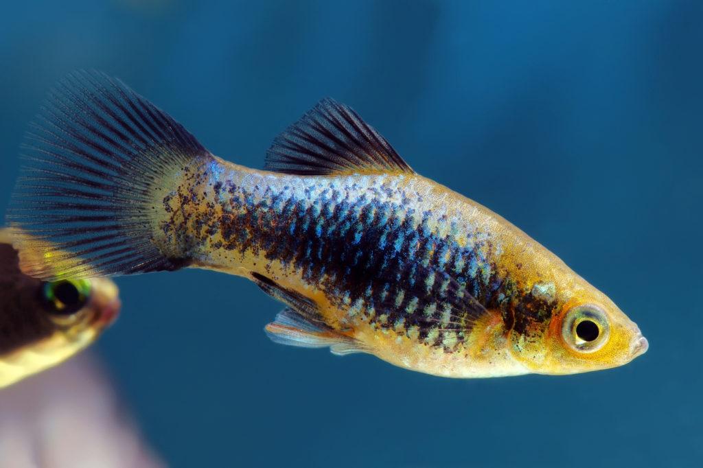 pesce Platy di colore blu