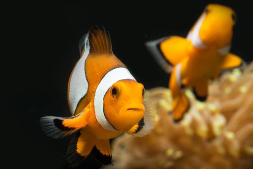 clownfish in acquario