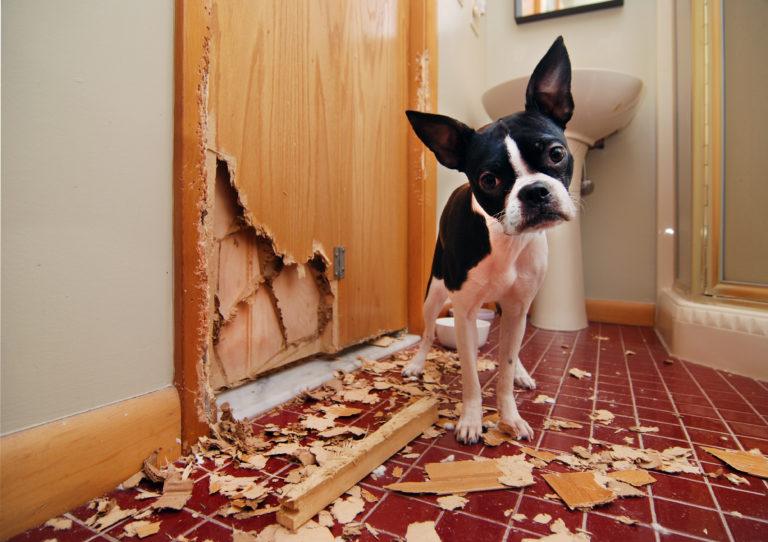 Boston Terrier ødelægger dør
