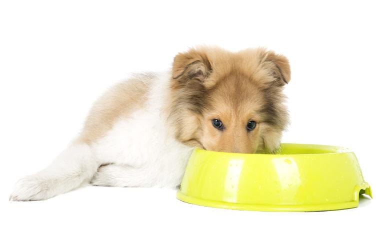 cucciolo di Collie con una ciotola