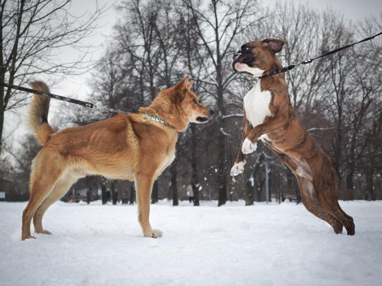 Razze di cani da combattimento