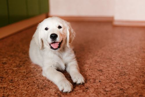 cucciolo in appartamento