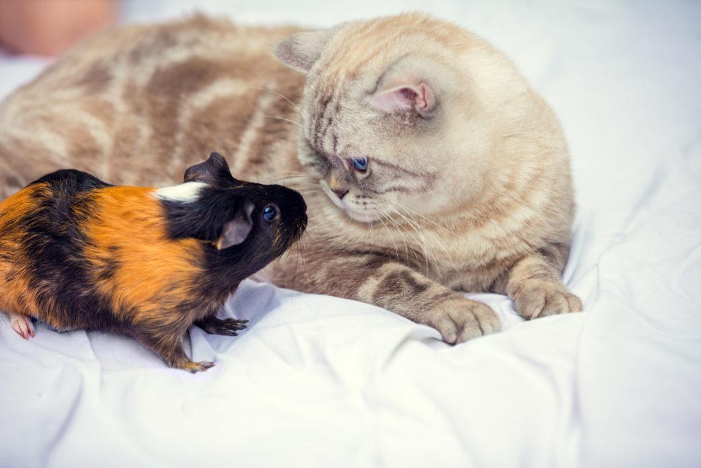 gatto e porcellino d'india