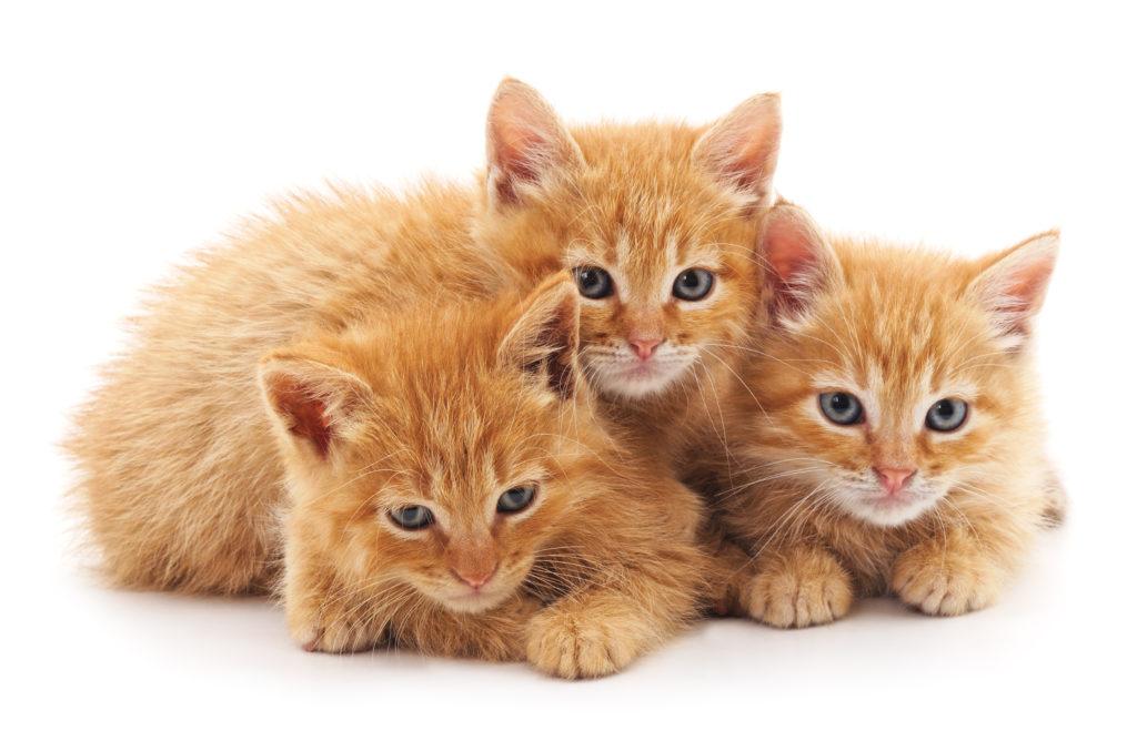 cuccioli di gatto red tabby