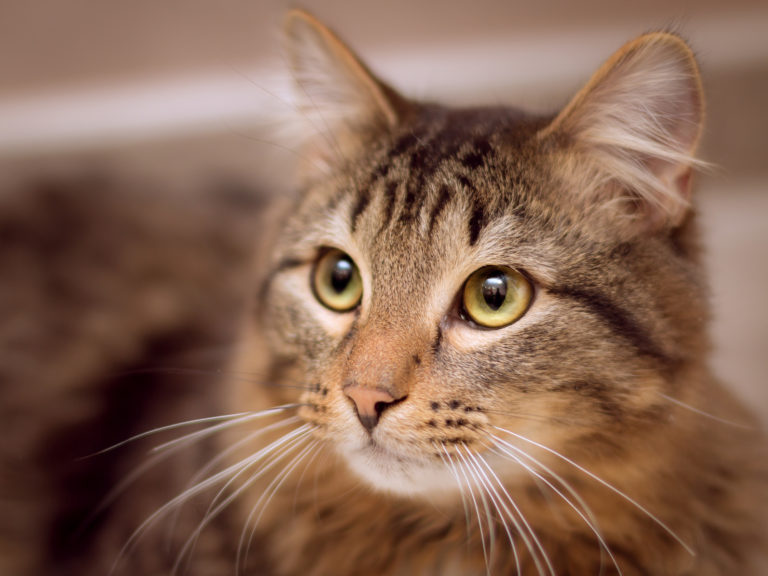 Imparare a comprendere la lingua dei gatti