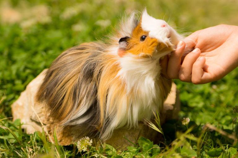 Come prendersi cura di un porcellino d'India