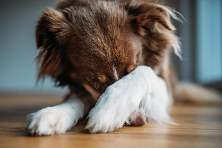hund rädd fyrverkerier