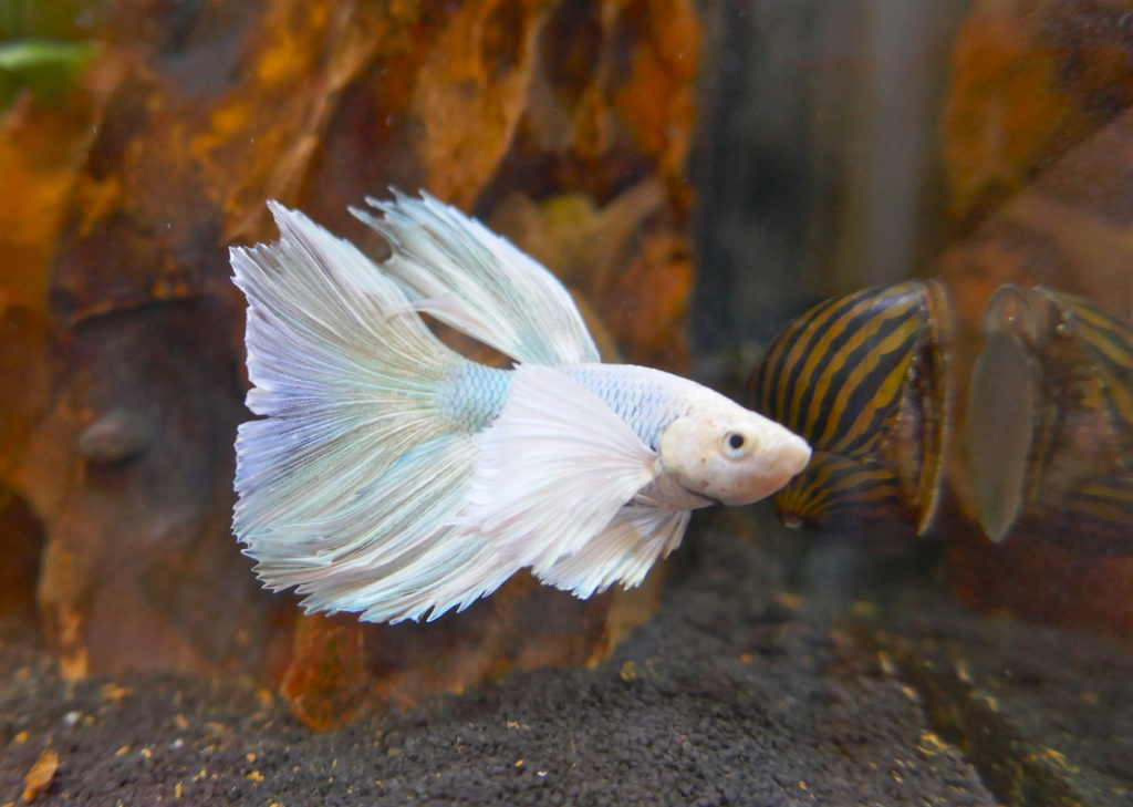 Pesce combattente CrownTail