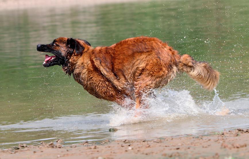 Leonberger nell'acqua
