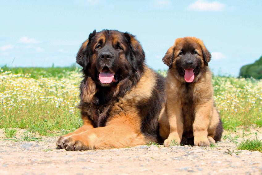 Leonberger adulto con cucciolo