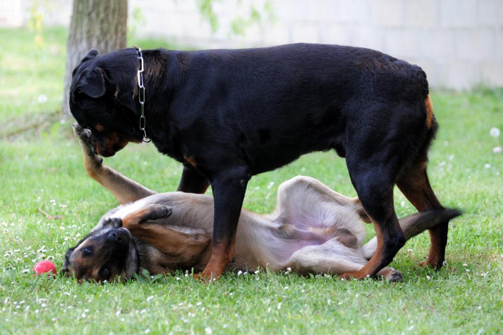 Comportamento dominante del cane
