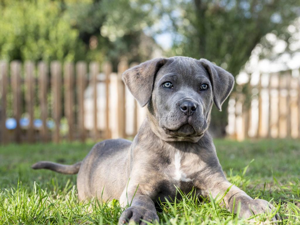 cucciolo di Cane Corso