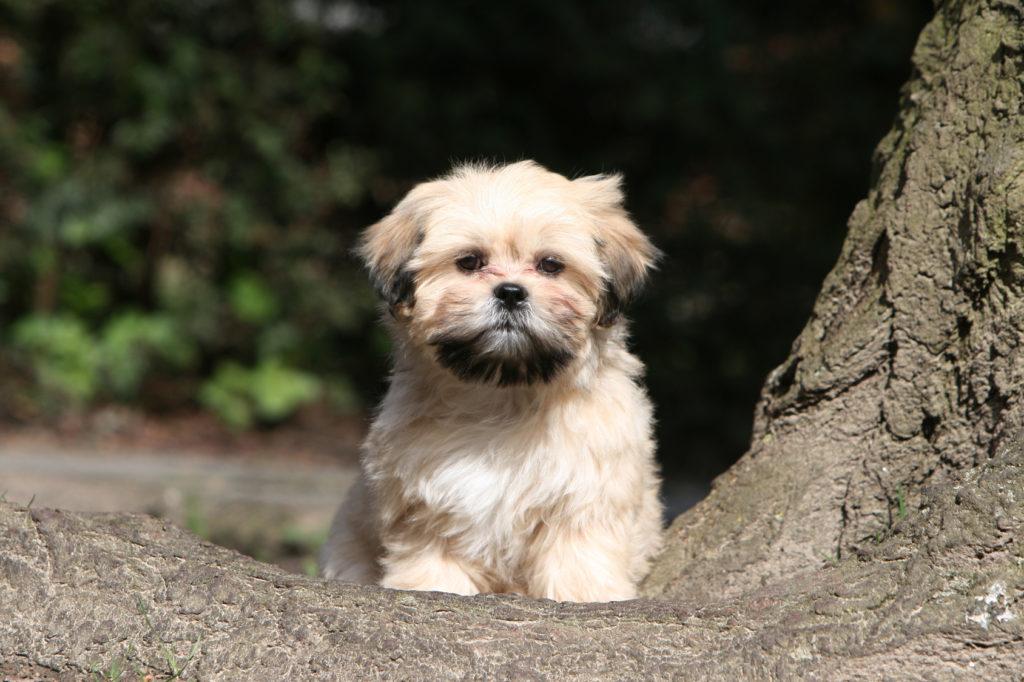 cucciolo di lhasa apso