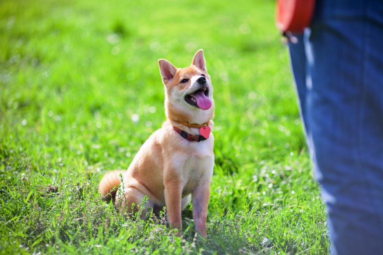 Shiba Inu che pratica Obedience per cani