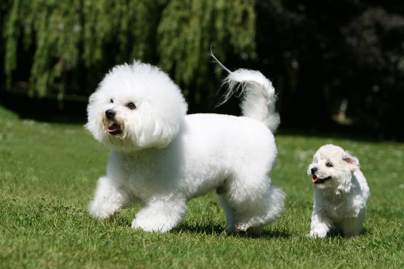 bichon frisé adulto e cucciolo