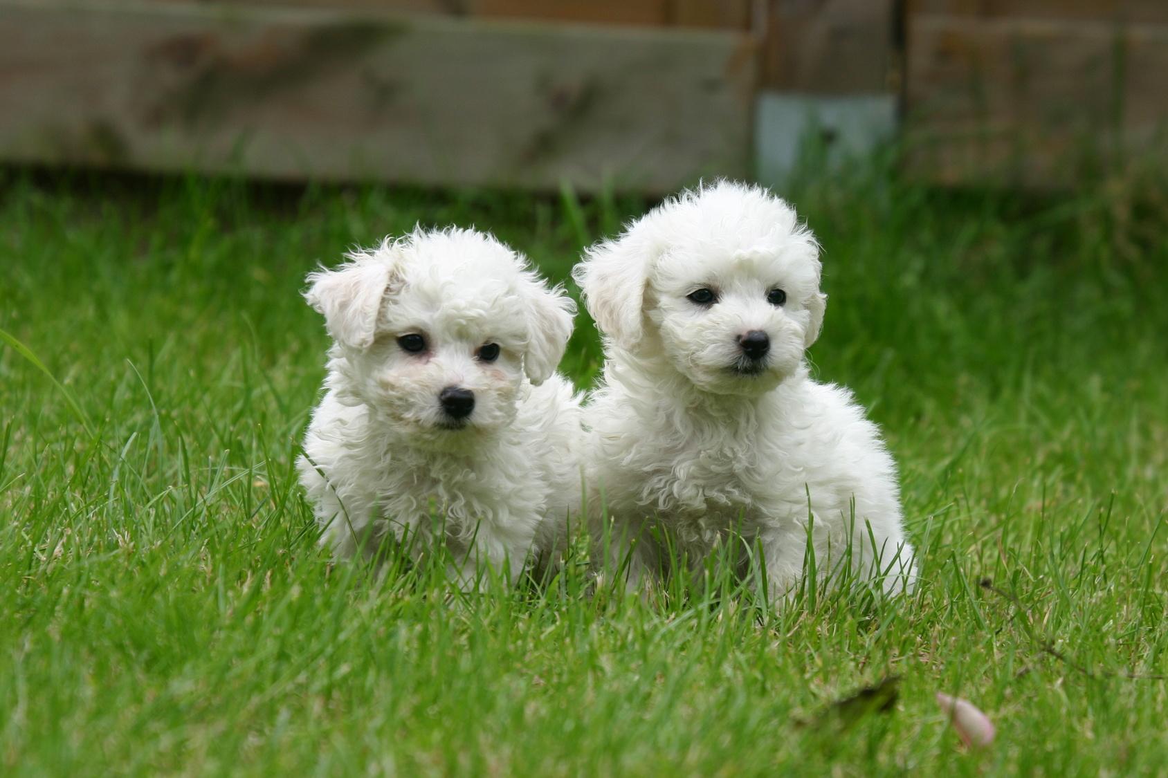 due cuccioli di bichon frisé