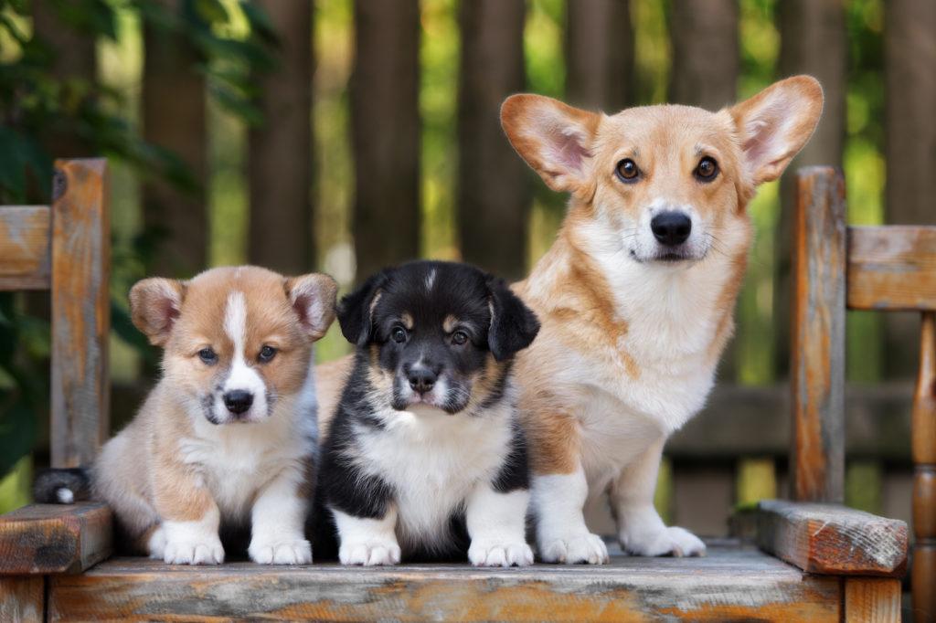 welsh corgi pembroke con cuccioli