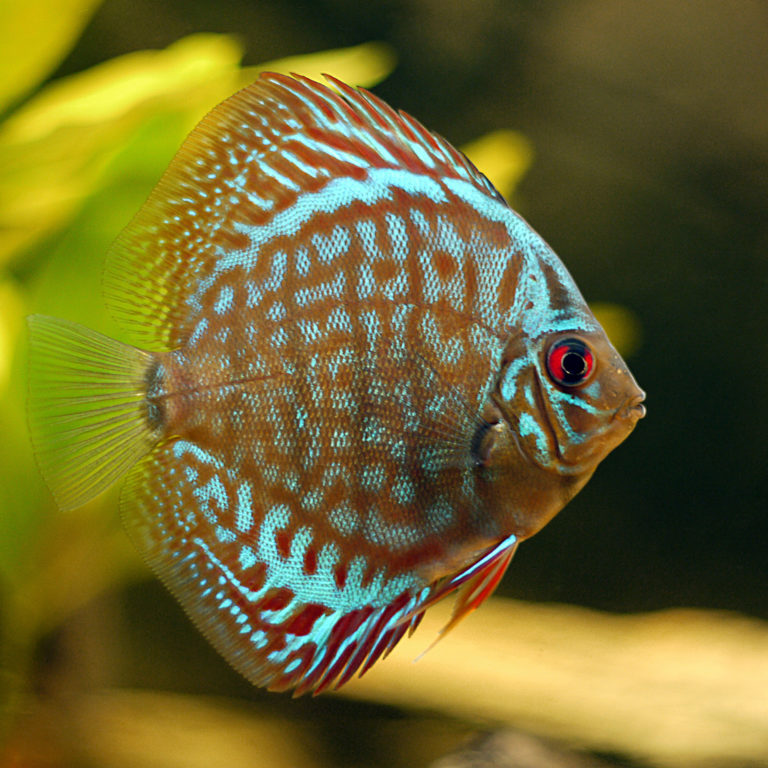 Pesce disco