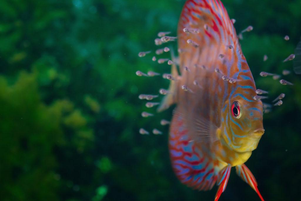 Piccoli di pesce disco
