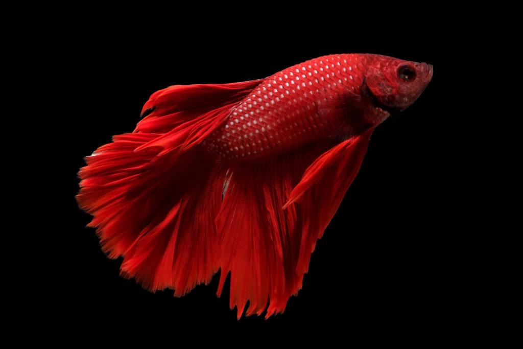 Pesce siamese combattente