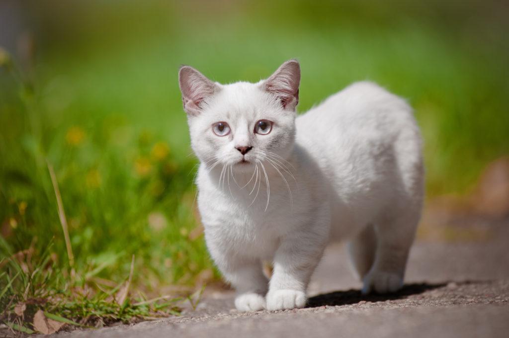 cucciolo di gatto Munchkin