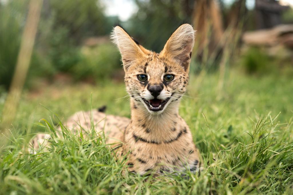 cucciolo di serval