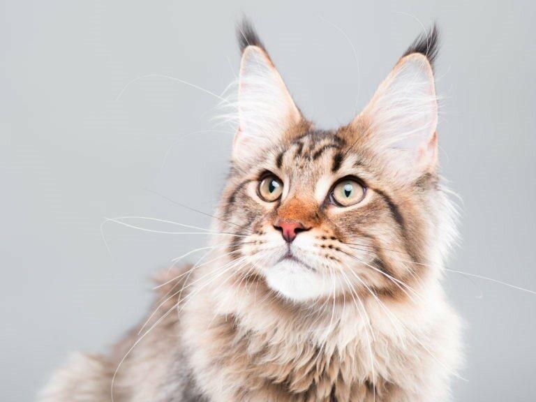 Calcolare l'età del gatto