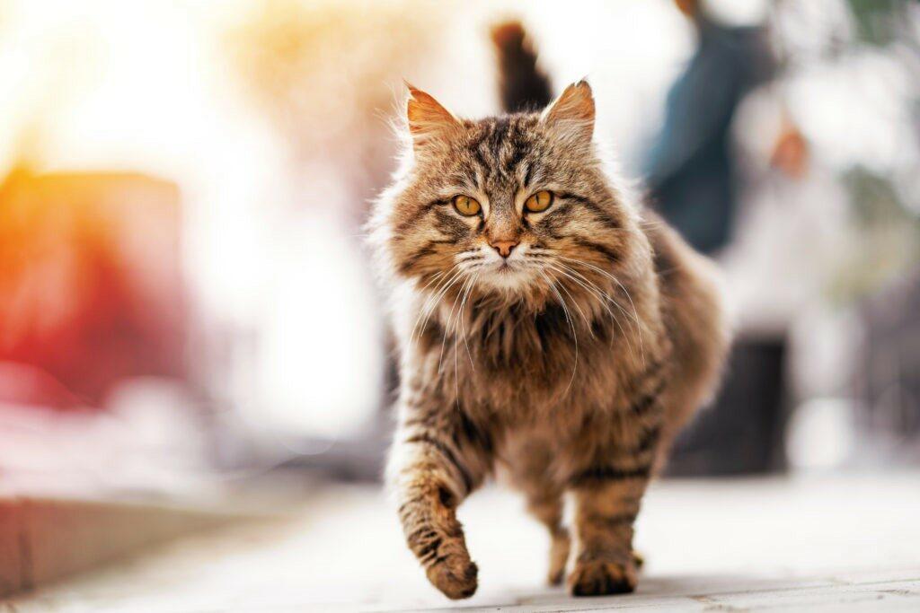 Gatto camminando