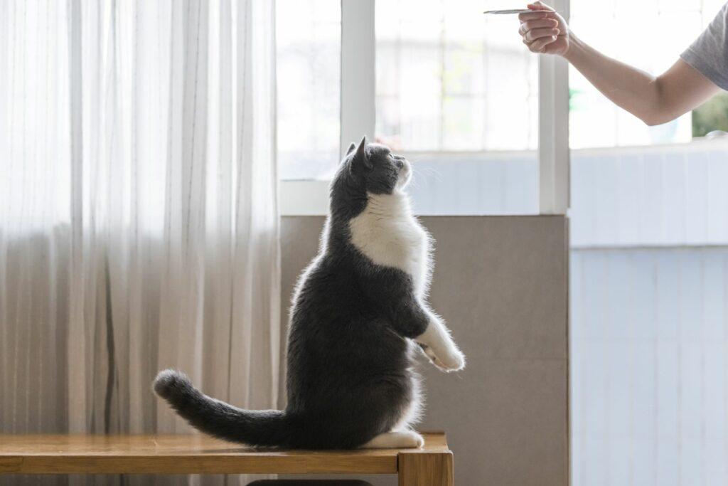 addestrare il gatto con il clicker