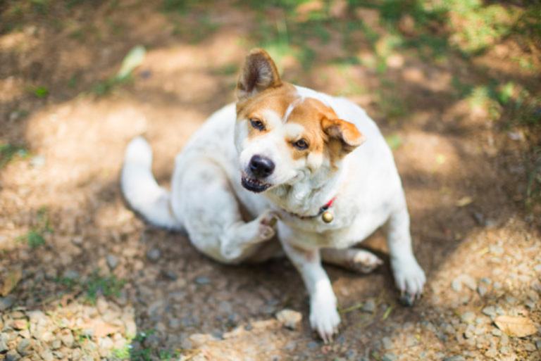 parassiti comuni nei cani giovani
