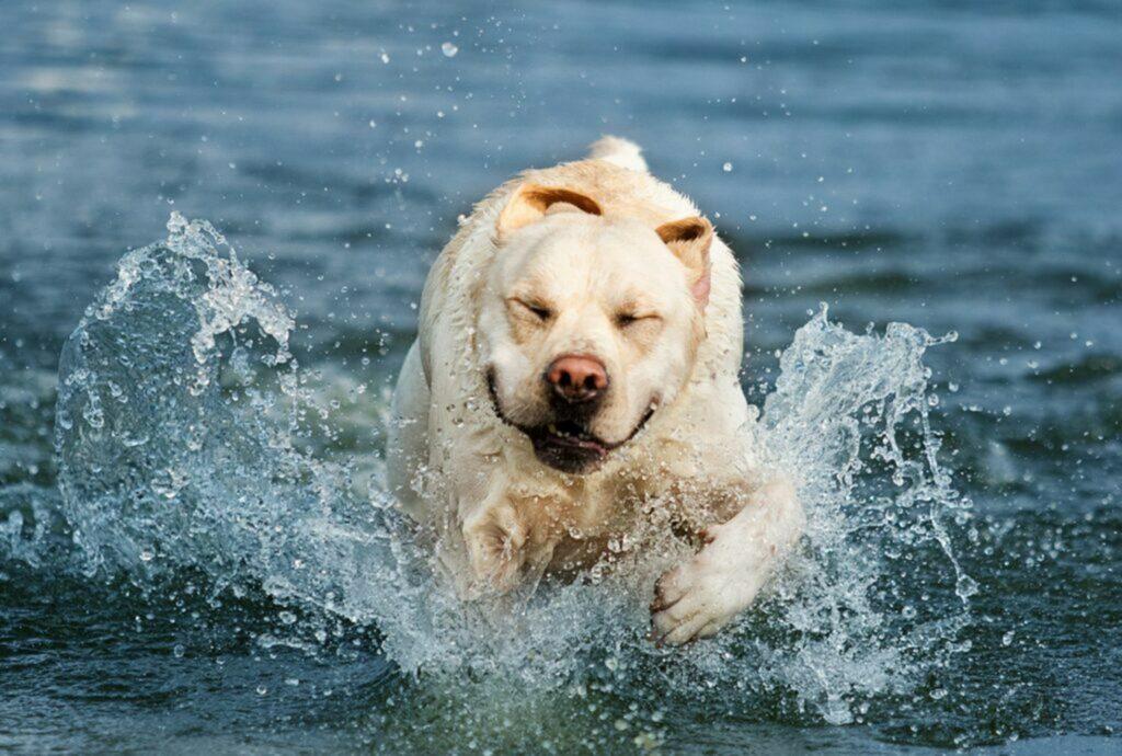 cane grasso che nuota