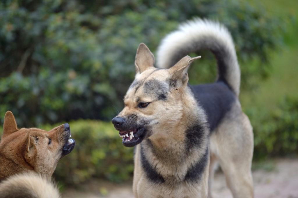 Cani ringhiando